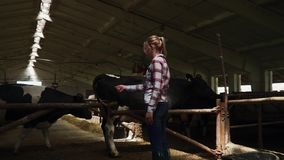 Farm girl in the barn. Blonde girl in a plaid shirt and rubber boots. Animals living in modern cow farm. People care about animals stock video footage