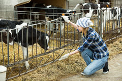 Farm girl with calves in cowhouse Royalty Free Stock Images