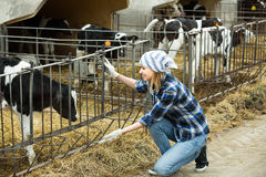Farm girl with calves in cowhouse Royalty Free Stock Photography