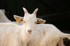 Farm goat Stock Photo