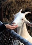 Farm Goat Stock Images