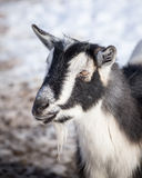 Farm Goat Stock Photos