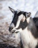 Farm Goat Stock Photos