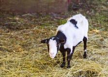 Farm goat Stock Image