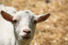 Farm goat. Goat on a field in the summer  in an old  farm in denmark Royalty Free Stock Photography
