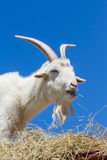 Farm goat Royalty Free Stock Photography