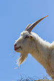 Farm goat Royalty Free Stock Images