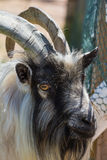 Farm goat Royalty Free Stock Photo