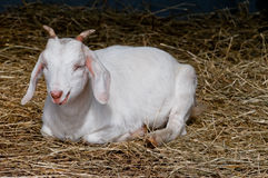 Farm goat resting after meal Stock Photo