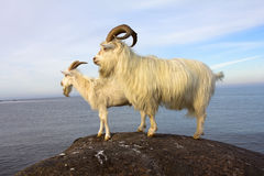 Farm goats. On the seashore in the summer afternoon Royalty Free Stock Photo