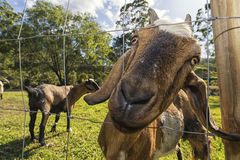 Farm Goats. Friendly farm goats. Located in the hinterlands of gold coast you`ll find goat famers producing milk for cheers, from these friendly animals stock images