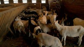 Farm goats inside a barn. stock video footage