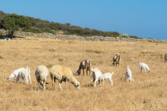 Farm with goats at Paros island in Greece. Royalty Free Stock Photos