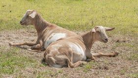 Farm goats Royalty Free Stock Photography
