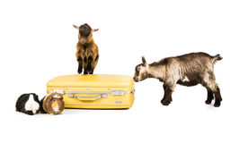 Farm goes on holiday. Picture of two Guinea pig and two pygmy goats with a yellow suitcase on a white seamless background royalty free stock image