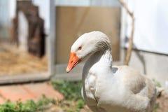 Farm Goose Stock Photos