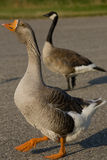 Farm Goose and Canada Goose. A closeup of a farm goose with a Canada Goose in the background Royalty Free Stock Images