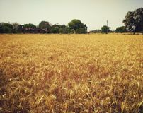 Farm of grain. It is a farm of wheat , time to cut it Royalty Free Stock Photos