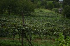 Farm of grape royalty free stock photography