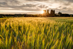 Farm grass growing in a field at sunset, Victoria, BC Royalty Free Stock Photo