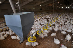 Farm for growing broiler chickens_7 Stock Photo