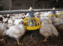 Farm for growing broiler chickens. To the age of one and a half months stock photo