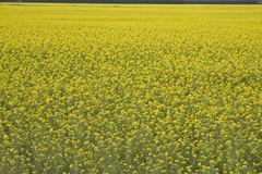 Farm growing field of yellow rapeseed Stock Photos