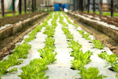Farm growing vegetables indoors Stock Photo