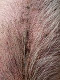 Farm: hairy pig skin. Bristled hairy pigs back with rough skin - close Royalty Free Stock Image