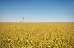 Farm has fields of wheat Royalty Free Stock Image