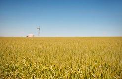 Farm has fields of wheat Royalty Free Stock Image