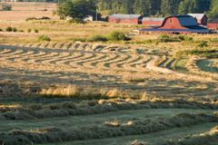 Farm and Hay Field. A field of hay that has just been cut and is drying before being bailed. This classic scene, with a red barn and other farm buildings, is a stock photos