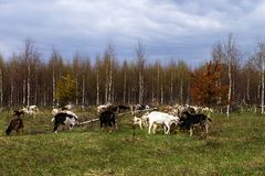 Farm, a herd of goats grazing in a meadow royalty free stock photos