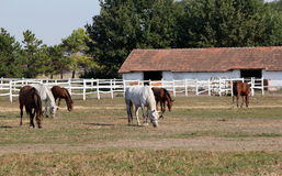 Farm with herd of horses Royalty Free Stock Images