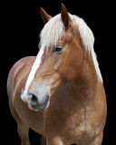 Farm horse. Portrait of a horse against a black background Royalty Free Stock Photography