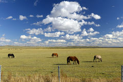 Farm horse in Grassland in inner mongolia Royalty Free Stock Photography
