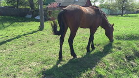 Farm horse grazing in a green field stock footage