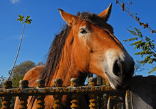Farm horse head. Farm brown horse head. Central european work horse from polish village royalty free stock photo