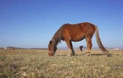 Farm horse in inner mongolia Stock Photo