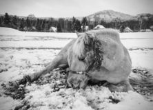 Farm horse laying in snow in winter day. Farm horse laying in snow in cloudy winter day. Beautiful white horse on snowy spring pasture royalty free stock image