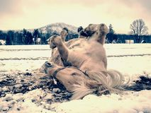 Farm horse laying in snow in winter day. Farm horse laying in snow in cloudy winter day. Beautiful white horse on snowy spring pasture royalty free stock photo