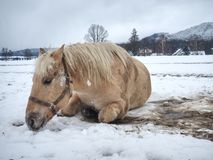 Farm horse laying in snow in winter day. Farm horse laying in snow in cloudy winter day. Beautiful white horse on snowy spring pasture fur upside down stock photos