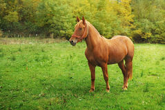 Farm horse Royalty Free Stock Image