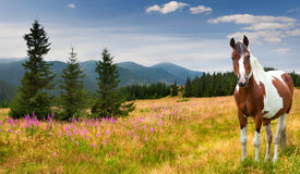 Farm horse in a pasture in mountains Royalty Free Stock Images