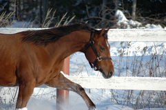 Farm horse in snow. A brown colored farm horse galloping near a fence in the winter snow Stock Images