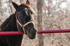 Farm horse. A farm horse standing behind a red gate stock photos