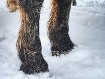 The farm horse stay in snow. Winter season. In country stock images