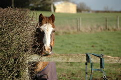 Farm Horse. With white blaze, Bishops Waltham, England royalty free stock photos