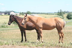 Farm horses. Two brown horses in a countryside field behind a barbwire fence Royalty Free Stock Images