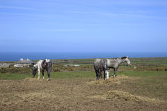 Farm Horses Cornwall England. Old Farm Horses grazing in a field in South Cornwall England Royalty Free Stock Photo